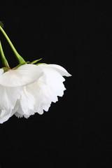 White prunus Shirotae blossom