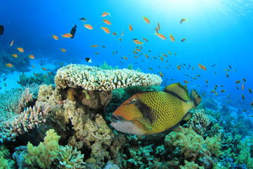 Titan Triggerfish and Table Coral