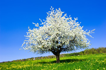 Single blossoming tree in spring on rural meadow