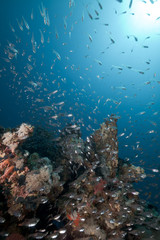 Glass fish and coral reef in the Red Sea.