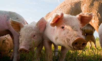 Pigs in Dalarna, Sweden