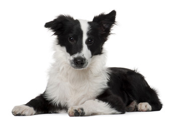 Border Collie, 4 months old, lying in front of white background