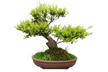 bonsai tree of elm