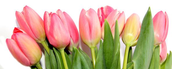 Fototapete - Tulpen rosa