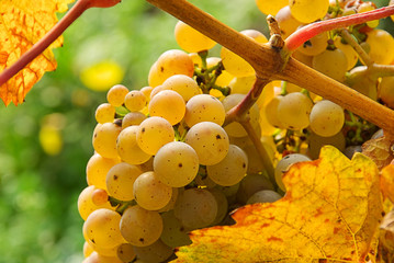 Weintraube weiss - grape white 14
