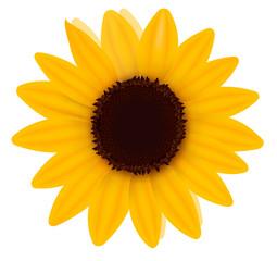 Beautiful yellow Sunflower. Vector illustration