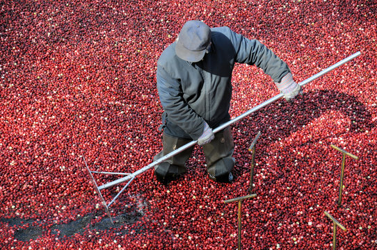 Man working the bogs harvesting cranberries
