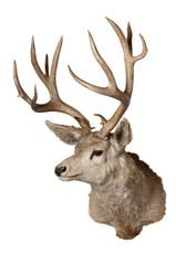 Mule deer on white