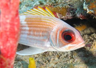 close up reef fish with big eyes, roatan, honduras