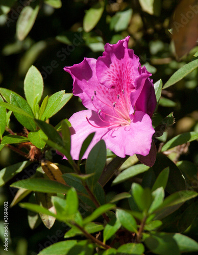 Fleur rose hibiscus jardin tropical guadeloupe photo for Jardin tropical guadeloupe