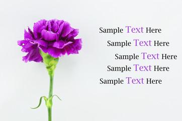 Purple Carnation Isolated on white background