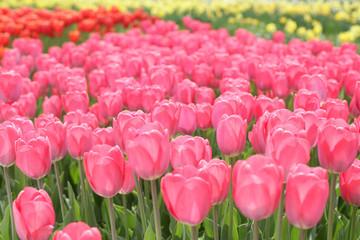 Poster Rose Tulip flowers