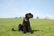 Himmelhund Terrier schwarz im Feld mit Himmel
