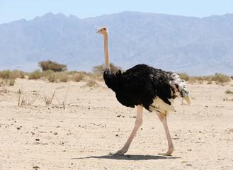 Photo sur Plexiglas Autruche African ostrich
