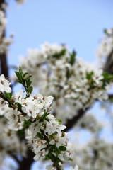 Fototapete - Apple Tree