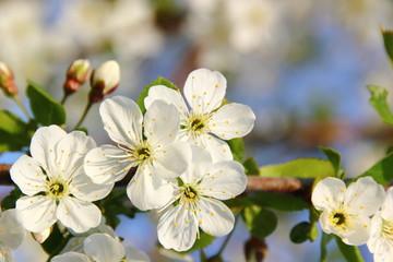 Fototapete - Apfelblüten weiß