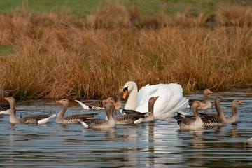 Mute swan male surrounded by greylag geese body guards