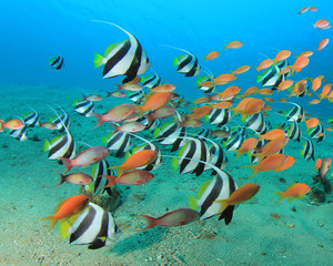 Assorted Tropical Fish (Anthias and Bannerfish)