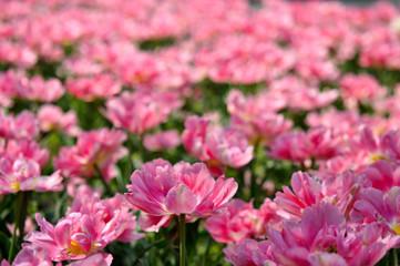 Rosa tulips
