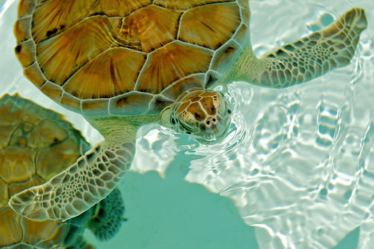 Sea turtle blowing bubbles while rising for a breath.