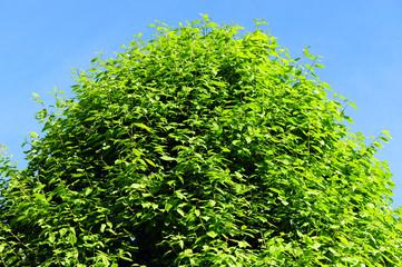 foglie 1650