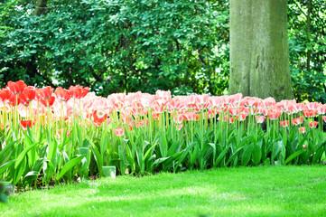 Tulpen Feld
