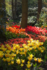 garden in spring with lots of tulips