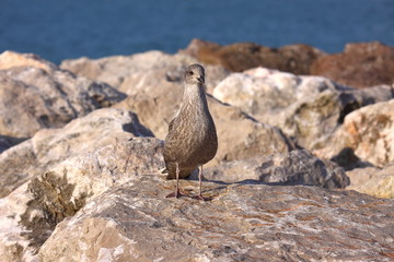 Young Gull, seagull