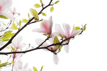 Beautiful magnolia flowers isolated on white