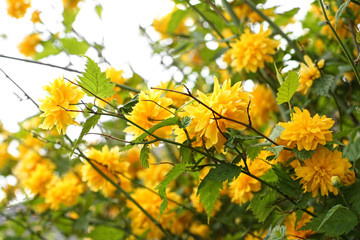 Beautiful yellow flowers on the Spring bush