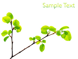 Vector branch of green beech leaves isolated on white background