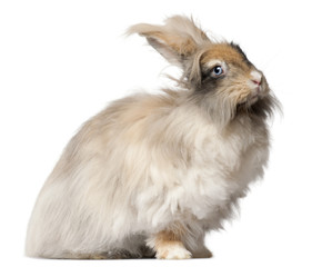 Wall Mural - English Angora rabbit in front of white background