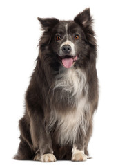 Border Collie, 8 years old, in front of white background