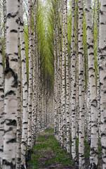 Spoed Foto op Canvas Birch trees