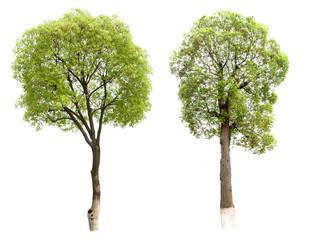 Small tree(Camphor)