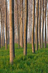 pioppeto alberi 1511