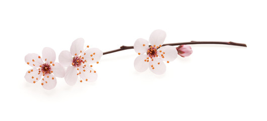 Photo sur Plexiglas Fleur de cerisier Branch of Japanese cherry with blossom, isolated on white