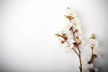 Brunch of apricot flowers