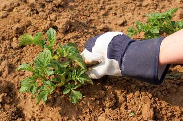 Plantation de pomme de terre