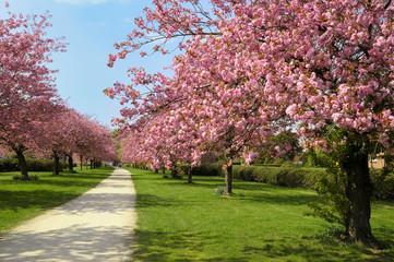 Blühende Kirschbäume im Sonnenschein