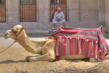 arab and camel in dubai,United Arab Emirates