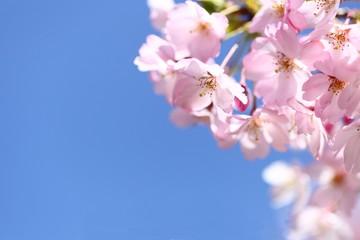 青空と桜の花弁
