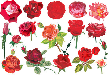 seventeen red roses collection