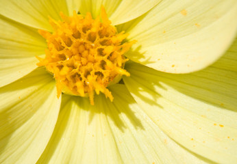 Flower of the dahlia in garden. Small depth to sharpness
