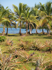 Pineapples and coconut trees