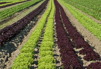 Blattsalat grün rot auf dem Feld