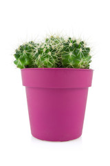 cactus in a purple pot isolated on white background
