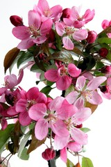 pink flowers of decorative tree