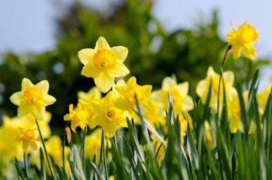 yellow Daffodils  in the garden