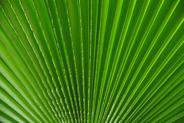 abstract background from the brightly green leaf of palm